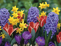 Narcissus, Hyacinthus, Tulips and Crocus
